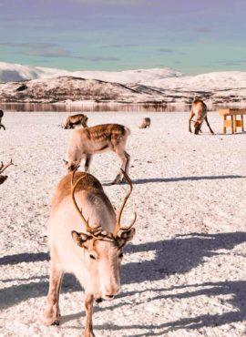 L'élevage des rennes avec les Sami de Norvège